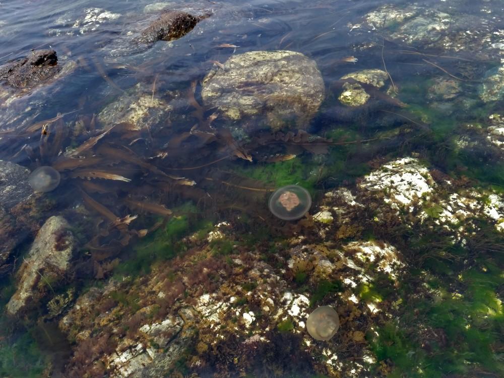 Медузы на Сахалине