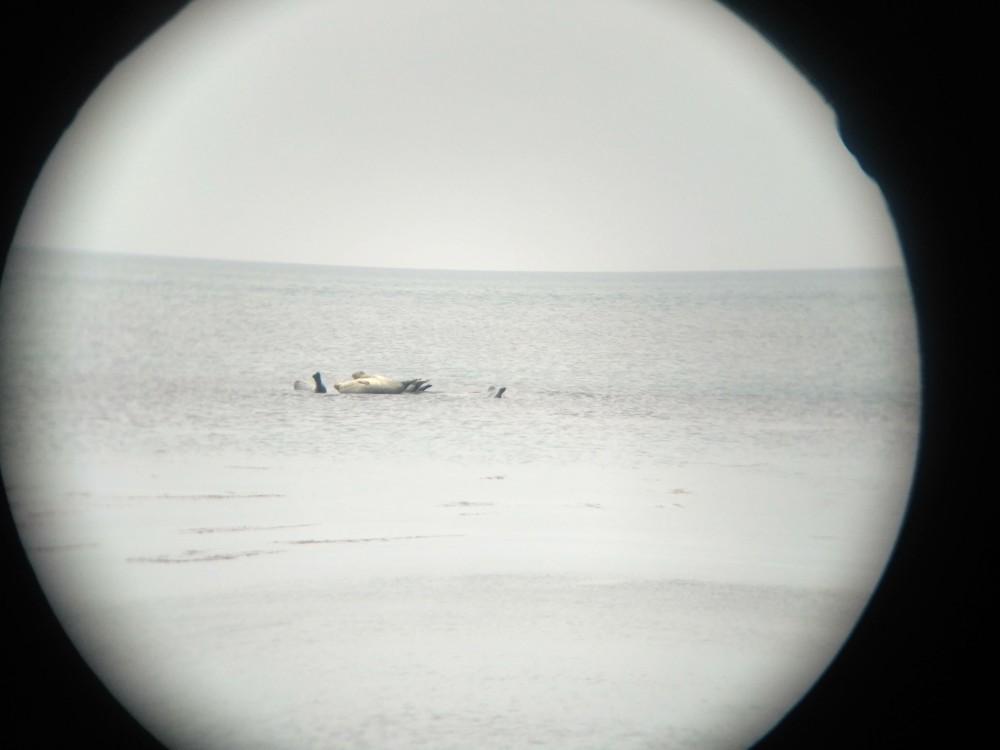 Тюлени. Остров Сахалин.