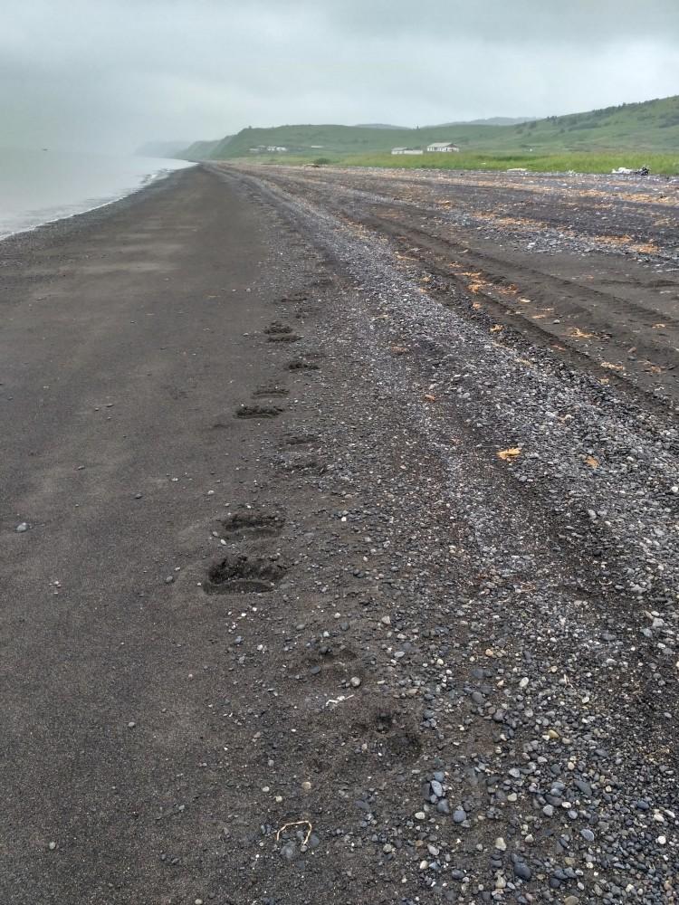 Следы медведя на острове Сахалин